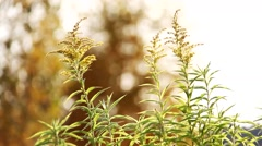 Stock Video Footage of goldenrod grass in the wind