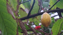 Cocoa in the tree Stock Footage