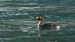 australasian crested grebe - stock footage