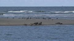 Common Seals (Phoca vitulina or harbor seal) resting on a sandbank Stock Footage