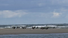 Great Cormorants (Phalacrocorax carbo) resting on a sandbank Stock Footage