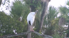 Woodstork Preen Stock Footage