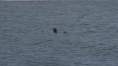 Common Seal (Phoca vitulina or harbor seal) swims, head above water Stock Footage
