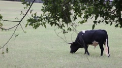 Black and white cow grazing. Stock Footage