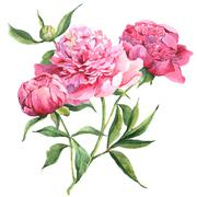 Pink peonies botanical watercolor illustration Stock Illustration