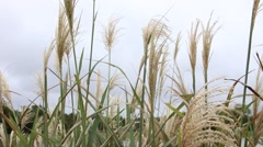 Pampas grass blowing in the wind. - stock footage