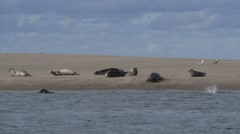Common Seals (Phoca vitulina or harbor seal) at the Dutch coast Stock Footage