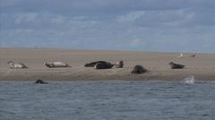 Common Seals (Phoca vitulina or harbor seal) at the Dutch coast Stock Footage