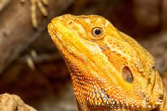 Stock Photo of agama lizard