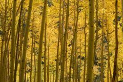 Yellow aspen Stock Photos