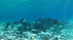 Humphead Parrotfish on a coral reef Stock Footage