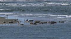 Common Seals (Phoca vitulina or harbor seal) on a sandbank, incoming tide Stock Footage