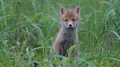 Red fox cubs cuddling Stock Footage