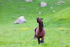 bay horse goes on a green meadow - stock photo