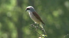 Bird Red-backed Shrike landed on brand top of the bush waiting for insects. Stock Footage