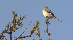 Bird Lesser Grey Shrike hunting and eating insects on top of the bush. Stock Footage