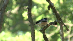 Bird Masked Shrike landed on branch in the forest and hunting insects Stock Footage
