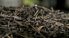 Forest ants anthill macro closeup Stock Footage