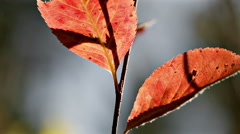Red autumn leafs in forest macro closeup Stock Footage
