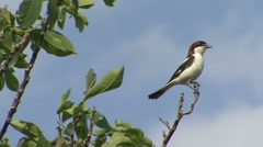 Shrike bird eating worm and insects landed on a branch on top of the bush - stock footage