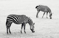 Two zebras grazing in the meadow Stock Photos
