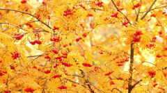 Red mountain ash on a background of yellow foliage. Autumn. Dolly shot. Stock Footage