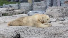 Old polar bear resting on rocks in toronto zoo canada Stock Footage