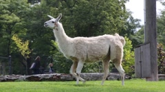 Llama standing on grass field in a zoo Stock Footage