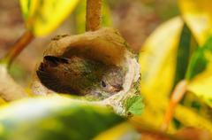 Baby hummingbird of rufous tailed in nest Stock Photos