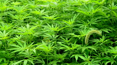 Zoom Out of Hemp Plants growing in the Wild in Sapa Vietnam Stock Footage
