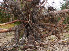 big fallen tree after hurricane. - stock photo