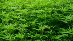 Pan of Hemp Plants growing in the Wild in Sapa Vietnam Stock Footage
