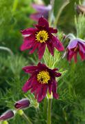 Pasque flower (or pasqueflower), wind flower, prairie crocus, easter flower, Stock Photos