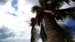 View from palm trunk moving to the top of coconuts on beach Koh Samui Stock Footage