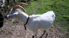 Goat In a Fild - stock footage