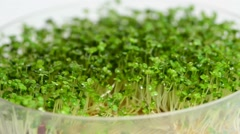 Salad rocket sprouts Stock Footage