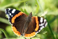 The red admiral butterfly Stock Photos