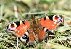 European peacock butterfly Stock Photos