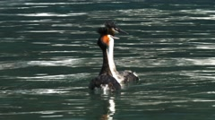 Pair of grebes courting Stock Footage