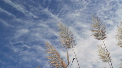 Dry reed plants Stock Footage