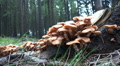 Wood and Tree Fungi closeup pan at forest tree trunk HD Footage