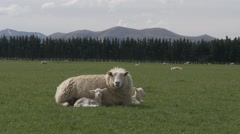 Sheep with two baby lambs Stock Footage