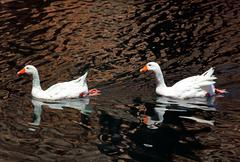 pair of white goose swimming in pond - stock photo