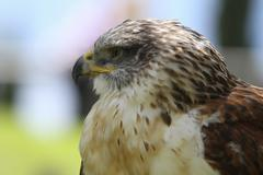 predatory bird - stock photo