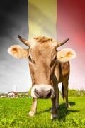 Cow with flag on background series - belgium Stock Illustration
