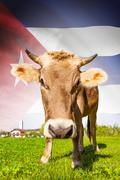 cow with flag on background series - cuba - stock illustration
