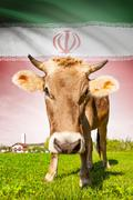 cow with flag on background series - iran - stock illustration