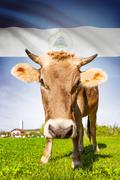 cow with flag on background series - nicaragua - stock illustration