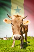 cow with flag on background series - senegal - stock illustration