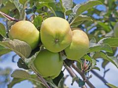 fresh apples on a apple-tree. - stock photo